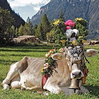 Desmontegada de le vache di Predazzo