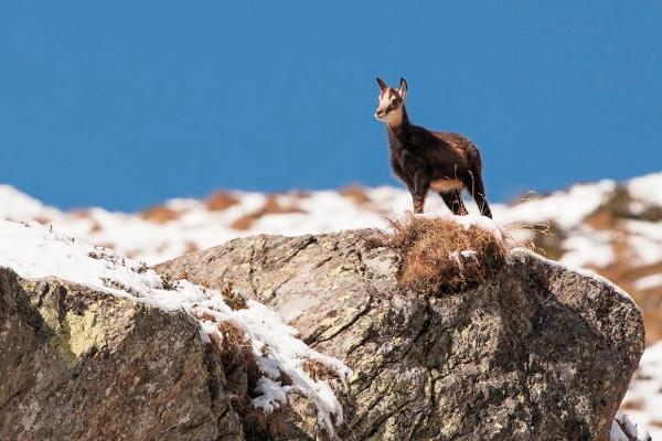 Camoscio alpino. Fonte: Associazione Uomo e Territorio Pro Natura