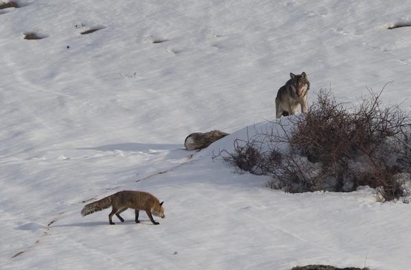 """Concorso """"Posti da Lupi"""", Foto di Batti Gai, prima classificata. Fonte: Lifewolfalps.eu"""